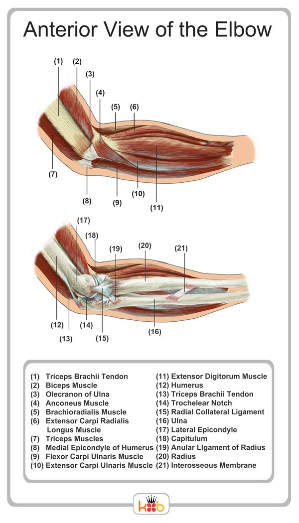 King Brand Anterior View of the Elbow Image Labelled Diagram