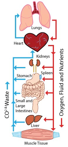 How Blood Circulates 3