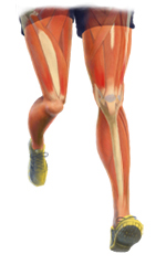 Muscle and Tendons of the leg