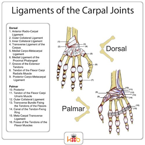 King Brand® Ligaments of the Carpal Joints Labelled Diagram Palmar Dorsal Wrist Injury