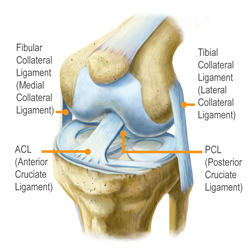 Kingbrand Illustration the Ligaments Inside the Knee