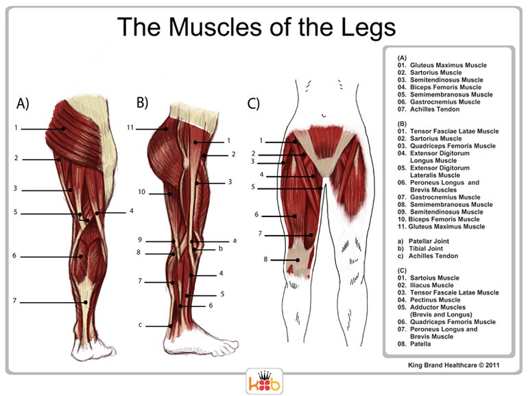 An Informational Diagram of the Muscles of the Legs