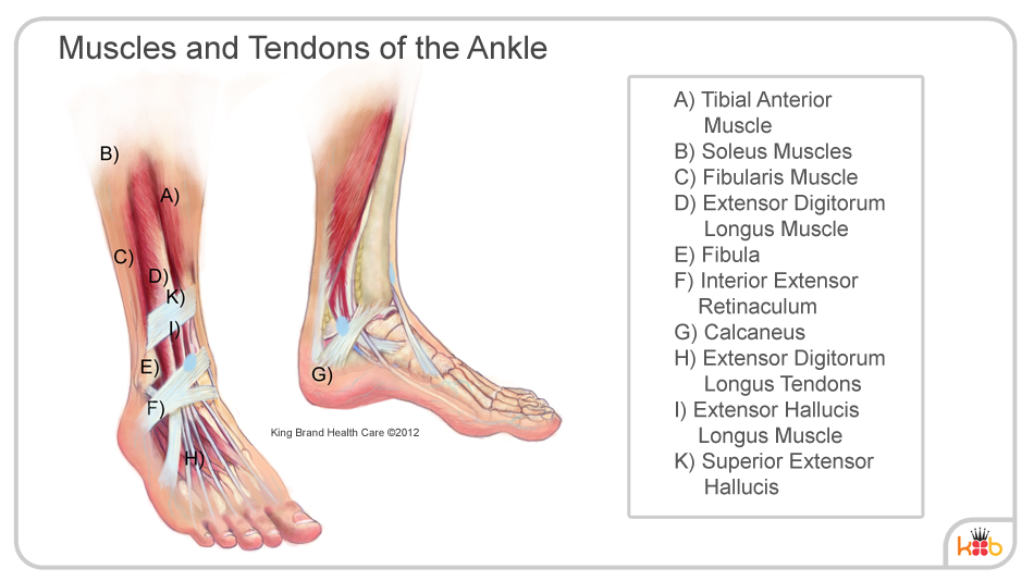King Brand Ankle Muscles and Tendons Diagram Image Labelled Injury Solutions