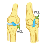 King Brand Illustration on the Funtions of the PCL and ACL