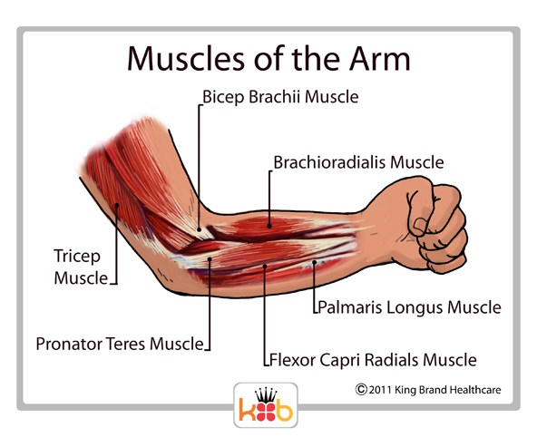 King Brand Muscles of the Arm Diagram Labelled