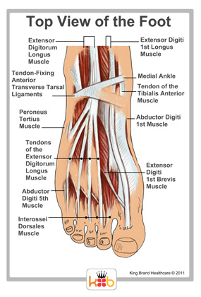 Muscles and Tendons on the Foot Top View Labelled Diagram