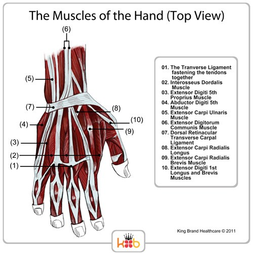 King Brand® Top View Hand Muscles Diagram Labelled Muscles Ligaments