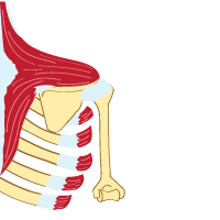 An X-Ray Illustration of a Trapezius Muscle and the Serratus